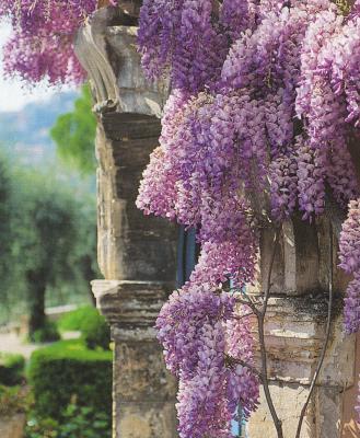 Sil ne devait y avoir quune fleur au paradis, ce serait sans doute la glycine. En regardant bien ces grappes de fleurs qui tombent du ciel, ne peut,on,