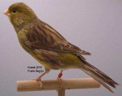 Bruin Geel Schimmel split Kobalt split Ivoor - Man - Kweekvogel