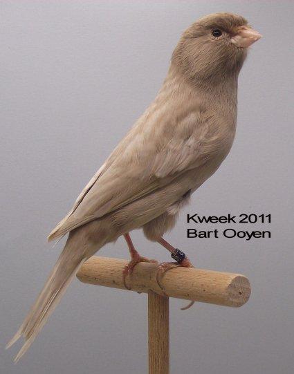 Op 't hok bij Bart Ooyen te Oudenbosch (NL) Bruin Kobalt Opaal-Onyx Wit Dom. Int Med.