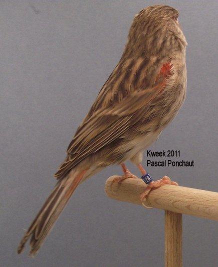 Op 't hok bij Pascal Ponchaut te Brakel (Everbeek) - Bruin Rood Mozaiek T1 - Pop