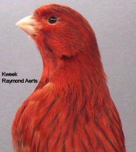 Op 't hok bij ... Raymond Aerts te Begijnendijk - Agaat Rood