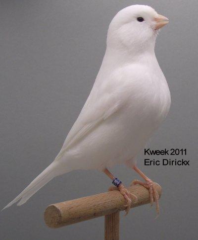 Op 't hok bij ... Eric Dirickx te Tienen - Lipochroom Wit Recessief