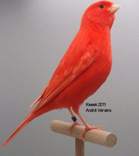 Op 't hok bij ... André Ververs te Kaatsheuvel (NL) - Lipochroom Rood Intensief Man