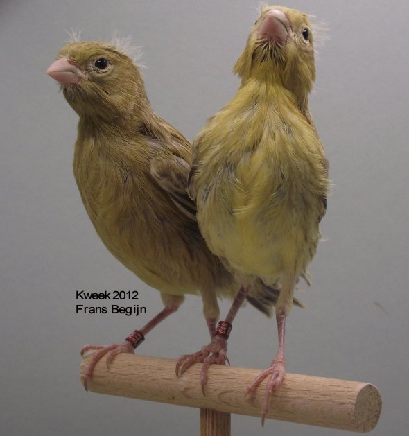 Agaatkobaltgeel - Agaatgeel - Kweek 2012 - (20 dagen)