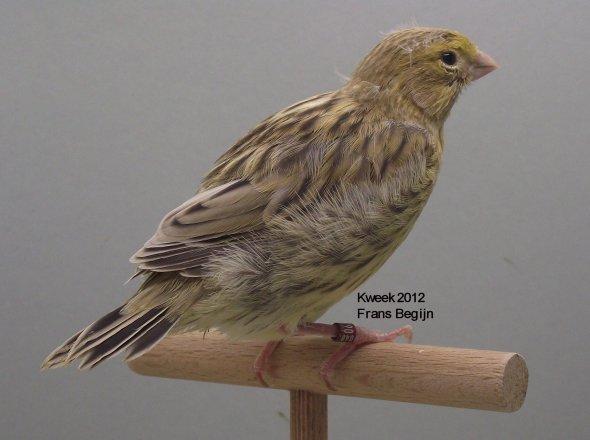 Agaatgeel-intensief - Agaatgeel-schimmel - Mannen - Kweek 2012 - (19 dagen)