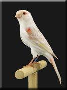 Kleurenpalet - Showvogels allerlei (8)