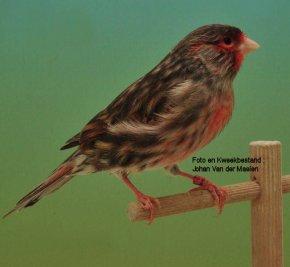 Origine > Federação Ornitológica do Brasil > Belgisch Kweekbestand 2014  >>>