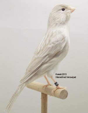 Op 't hok bij ... Werenfried Verswijvel te Wommelgem (B) - Bruinmelanine-Mutanten e.a.