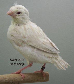 Jongbroed Bruin Kobalt Wit Dominant & Satinet Geel Ivoor ( Geslachtsgebonden Ino )
