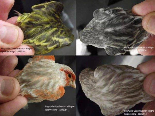 Rugstudie Zwart Opaal Mogno's - Bruin Opaal Mogno's