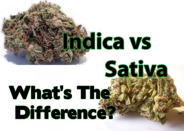 Sativa ou Indica ?