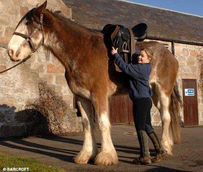 le plus grand cheval du monde les chevaux du monde. Black Bedroom Furniture Sets. Home Design Ideas