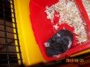 Photo de hamsters-pepette