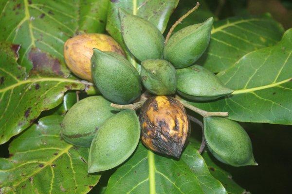 Aux antilles on les appelle des amandes a la reunion des badames a l 39 interieur du fruit se - Fruit de l amandier ...