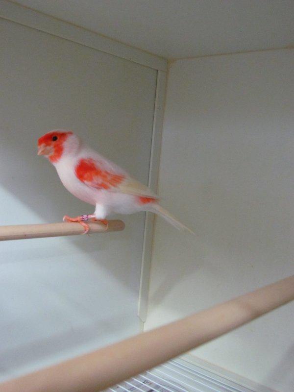 Male   rouge mosaique 2012