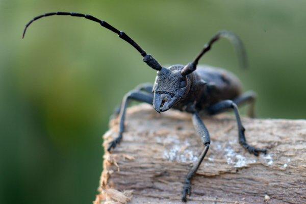 656 morime rugueux mirimus asper ou longicorne capricorne kinouclic photos d 39 insectes de. Black Bedroom Furniture Sets. Home Design Ideas