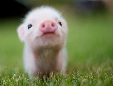 Cro mignon le petit cochon panfu l - Image de cochon mignon ...