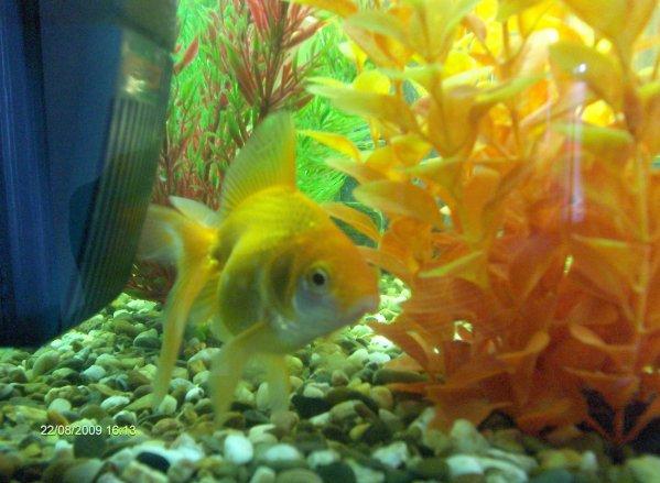 Le poisson rouge queue de voile oriflamme voile de chine for Nourriture poisson rouge voile de chine