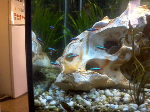 poisson cardinalis voile de chine