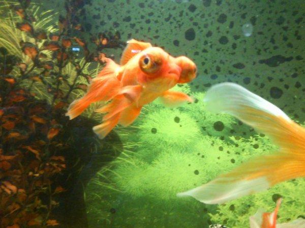 Blog de poisson voile de chine page 4 voile de chine for Nourriture poisson rouge voile de chine