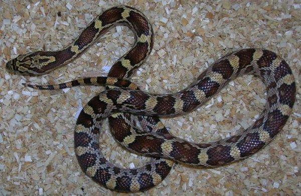 hybride elaphe x serpent taureau