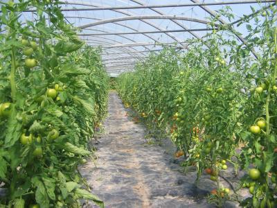 Blog de ferme armor la ferme de l 39 armor - Culture du melon charentais ...