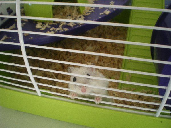 même au Sénégal mais fille se couvre hihi et une nouvelle venue cacahouette une hamster russe de Lisa