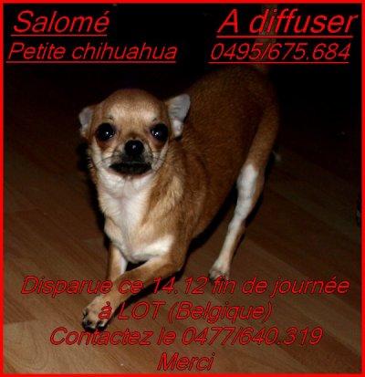 Salom� Petite chihuahua a disparu AIDEZ NOUS A LA RETROUVER