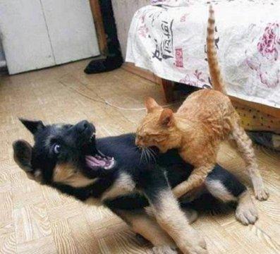Chien et Chat qui se battent