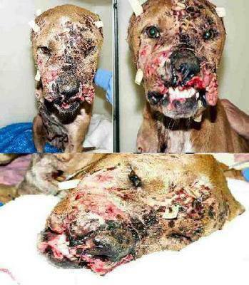 bulldog lab steroids