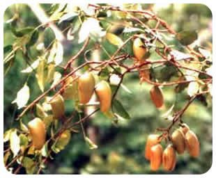Le griffonia plante contre migraines d pression for 5 htp plante