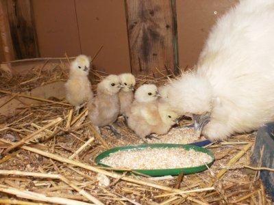 Articles de gwengi tagg s poule soie poules soie - Poule et ses poussins ...