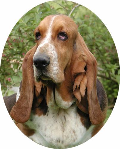 J Ai Un Basset Hound Blog de basset--hound ...
