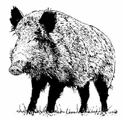 Dessin de sanglier les chasseurs ardennais - Cuisiner du sanglier au four ...