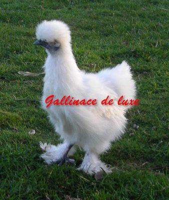Poule n gre soie blanche gallinace de luxe for Poule soie blanche prix
