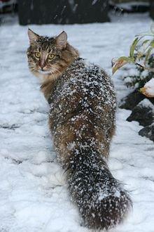 Histoire: le chat des for�tes norvegiennes 1