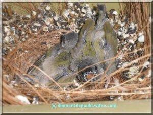 Jeunes goulds au nid