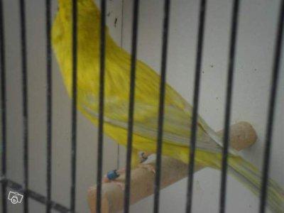 agates oaples jaunes