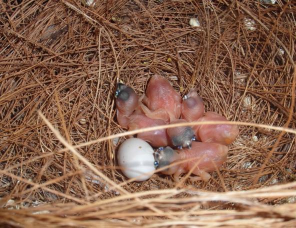 premières naissances de goulds