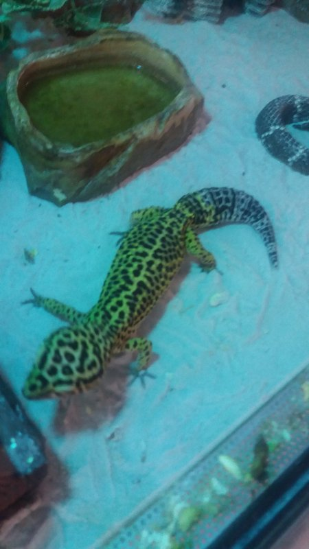 adulte gecko a moi