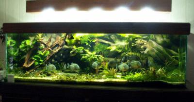déco aquarium piranha
