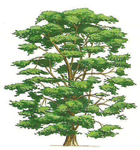 Mythes l gendes et symboles de l 39 egypte n 6 les l gendes des peuples des arbres richesses - Cedre bleu du liban ...
