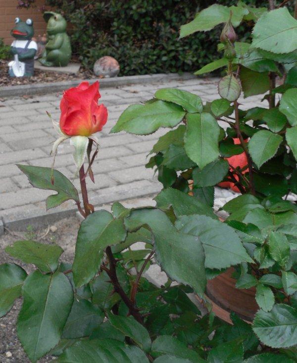 """Unsere Rose  """" Mireille Mathieu """"  blüht wieder"""