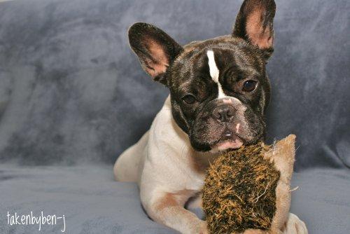 """""""Un amour de Bulldog"""""""