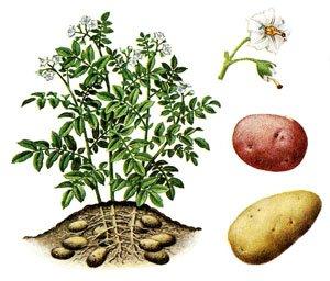 Comment planter des pommes terres blog de jejardineettoi - Planter les pommes de terre ...