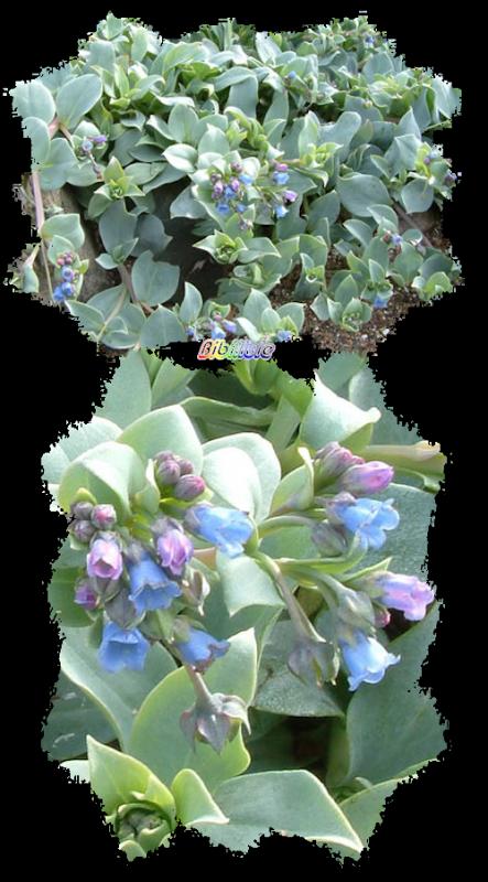 La mertensia maritima ou plante huitre profitons de for Plante huitre