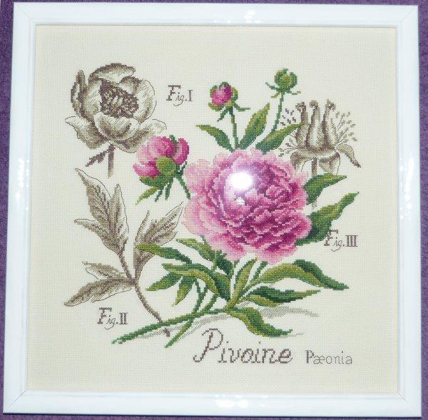 Etudes Botaniques - La Pivoine (fin)