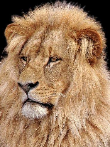 Un lion blog de animaux du monde89 - Animaux du roi lion ...
