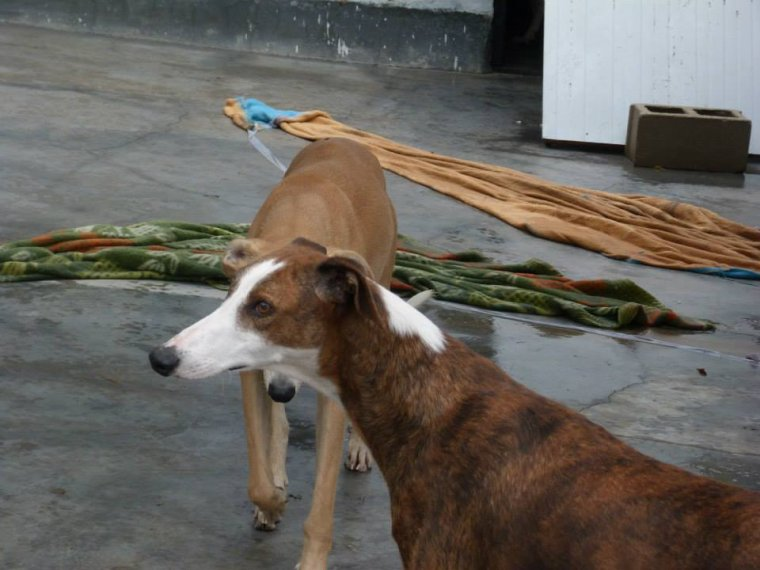 "Adoption galgos ""Lima"""
