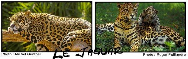 Fiche n�3 : Le jaguar